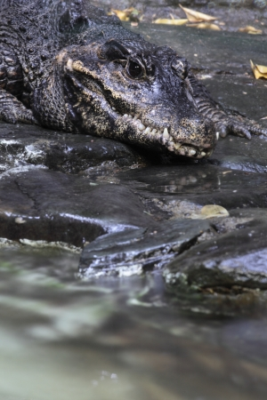 alligator eyes: Alligator in water of a river