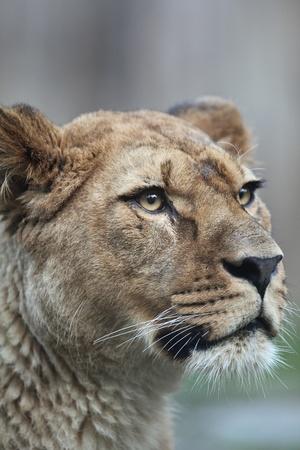 panthera leo: Close-up of a majestic lioness (Panthera Leo) in nature  Stock Photo