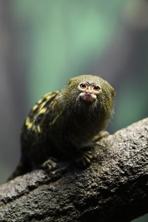 close-up of a very tiny and very cute pygmy marmoset (Cebuella pygmaea) photo