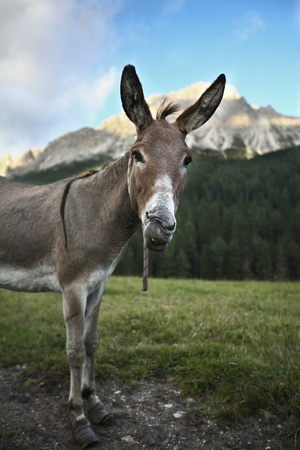 grosse fesse: cute and funny donkey  standing outdoors on a farmland and staring at you