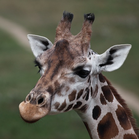 close-up of a giraffe (shallow DOF, focus on the mouth) photo