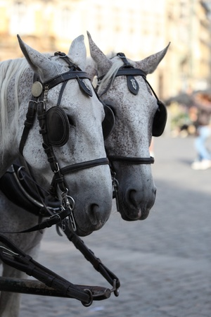 blinkers: Two white horses team towing a carriage Stock Photo