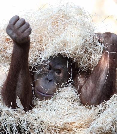 orang: cute orangutan hiding under hay
