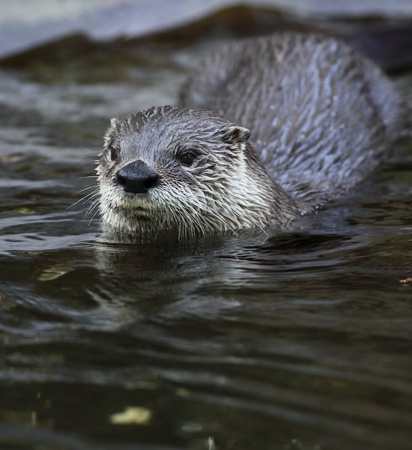 poacher: European otter (Lutra lutra) also known as Eurasian otter, Eurasian river otter, common otter and Old World otter - cute and cunning european mammal  Stock Photo