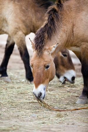 Przewalskis Horse (Equus ferus przewalskii,Takhi or Dzungarian Horse)  photo