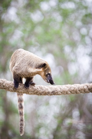 omnivore: portrait of a very cute White-nosed Coati (Nasua narica) aka Pizote or Antoon. Diurnal, omnivore mammal Stock Photo