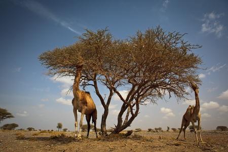 plantas del desierto: Escena de un desierto caliente: los camellos salvajes alimentándose de acacia Foto de archivo