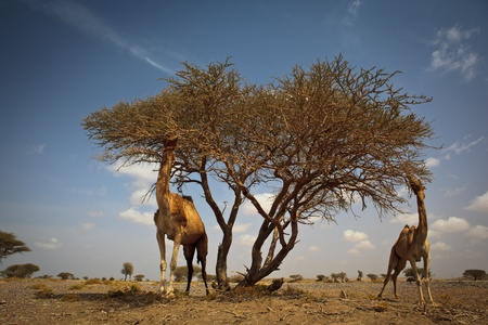 Scene from a hot desert: wild camels feeding on acacia photo