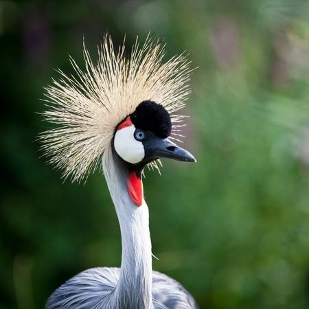 uganda: Close-up of a Grey Crowned Crane (Balearica regulorum) Stock Photo