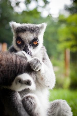 Lemur kata (Lemur catta) photo