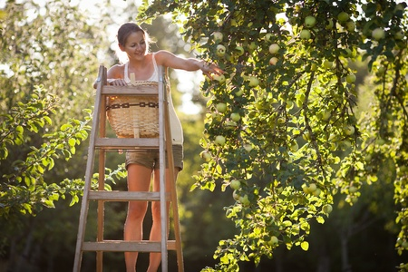 pick: Young woman up on a ladder picking apples from an apple tree on a lovely sunny summer day