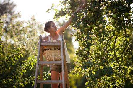 joven agricultor: Joven mujer arriba de una escalera recogiendo manzanas de un �rbol de manzanas en un precioso soleado d�a de verano