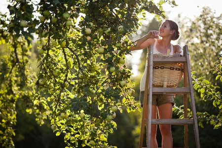 Young woman up on a ladder picking apples from an apple tree on a lovely sunny summer day Stock Photo - 10523746
