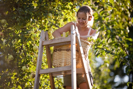 Young woman up on a ladder picking apples from an apple tree on a lovely sunny summer day Stock Photo - 10523740