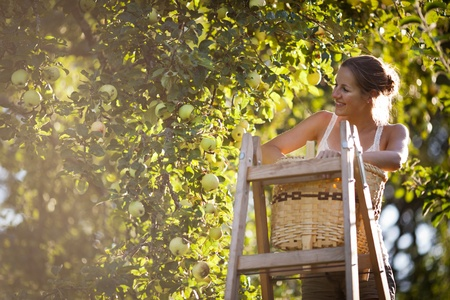 Young woman up on a ladder picking apples from an apple tree on a lovely sunny summer day photo