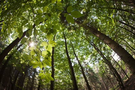 intentionally: spring forest treetopscanopy (intentionally distorted image; shot with a fisheye lens)