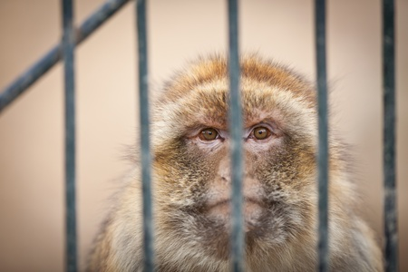 caged - monkey behind bars of a cage in a zoo photo
