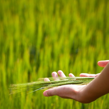 hands giving: Symbolic gesture suggesting fertility, plenitude, health. Woman hands holding unripe barley ears in a lovely barley field lit by summer sunshine