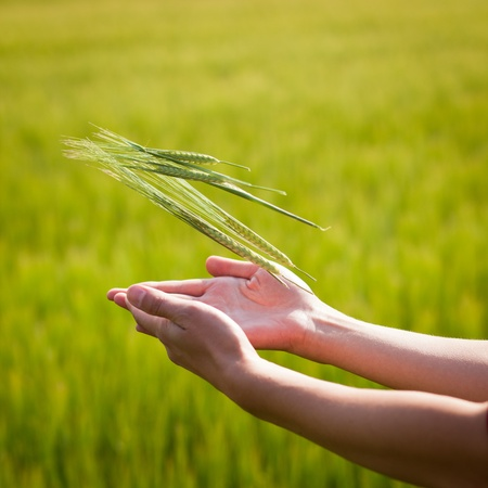 suggesting: Symbolic gesture suggesting fertility, plenitude, health. Woman hands holding unripe barley ears in a lovely barley field lit by summer sunshine