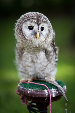 sad cute baby: Close up of a baby Tawny Owl (Strix aluco)