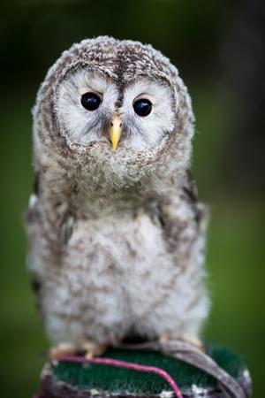 tawny: Close up of a baby Tawny Owl (Strix aluco)