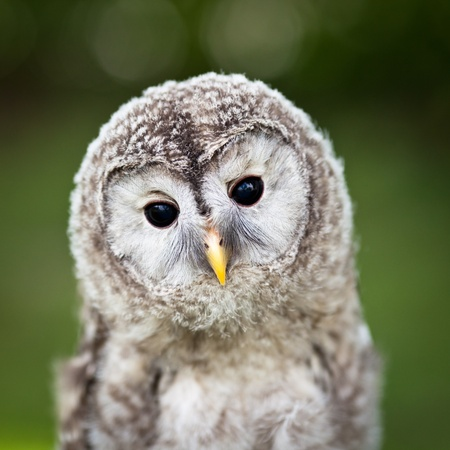 night owl: Close up of a baby Tawny Owl (Strix aluco)