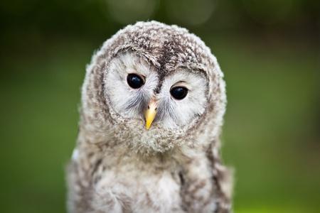 lechuzas: Cerca de un bebé cárabo (Strix aluco)