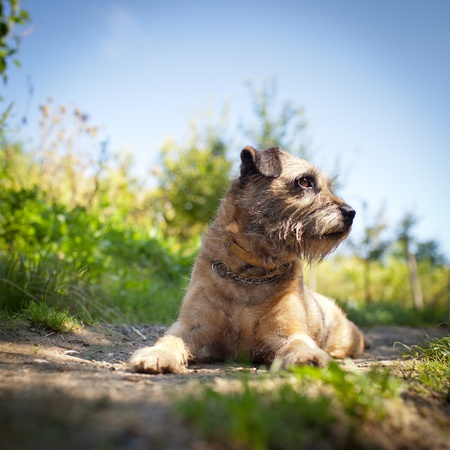 Border Terrier Stock Photo - 10895275