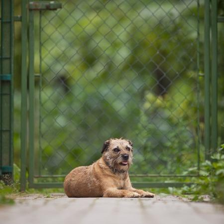 Border Terrier photo