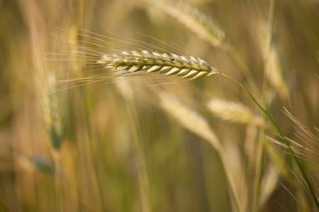 Ears of ripe barley growing in a farm field against lovely summer blue sky (shallow DOF - selective focus) photo
