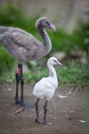 phoenicopterus: Young Greater Flamingos (Phoenicopterus roseus) Stock Photo