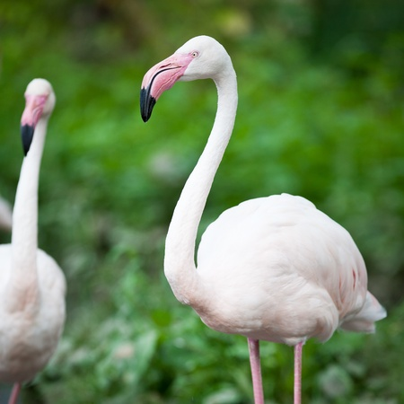 Greater Flamingos (Phoenicopterus roseus) photo