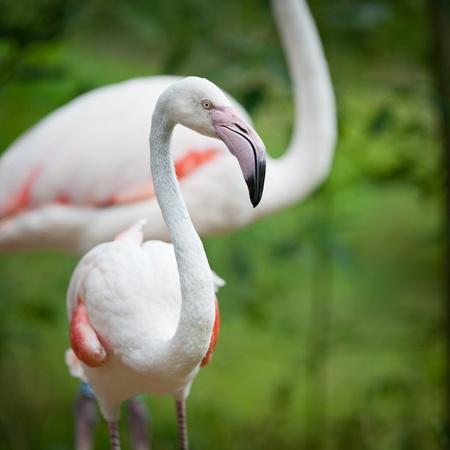 black beak: Greater Flamingos (Phoenicopterus roseus)