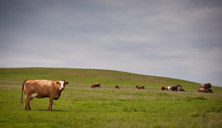 Cow grazing on a lovely green pasture photo