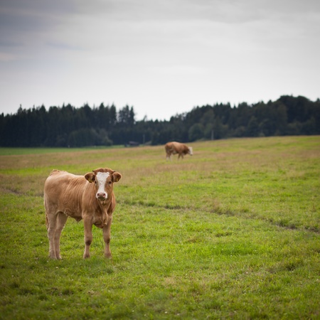 Cow grazing on a lovely green pasture Stock Photo - 11303343