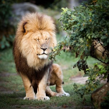 panthera leo: majestic lion (Panthera leo)