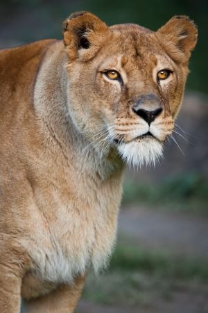 female lion: Lioness (Panthera leo)