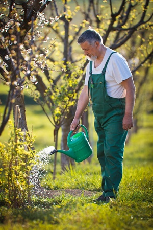 watering orchardgarden - portrait of a senior man gardening in his garden (color toned image) photo