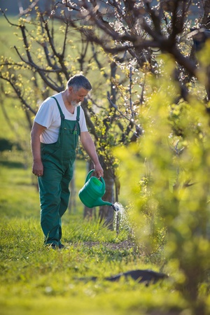mattock: watering orchardgarden - portrait of a senior man gardening in his garden (color toned image) Stock Photo