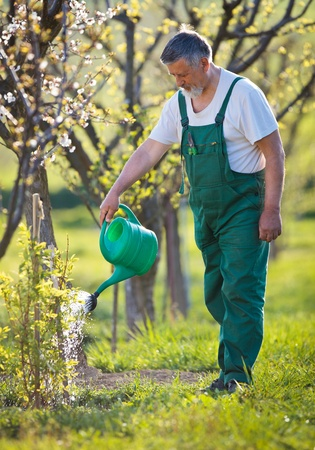 hoe: watering orchardgarden - portrait of a senior man gardening in his garden (color toned image) Stock Photo