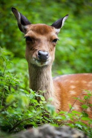 sika deer (lat. Cervus nippon) doe Stock Photo - 11304009