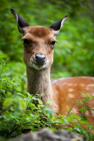 sika deer (lat. Cervus nippon) doe photo