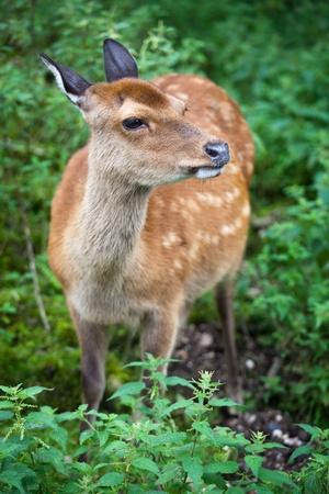 nippon: sika deer (lat. Cervus nippon) doe