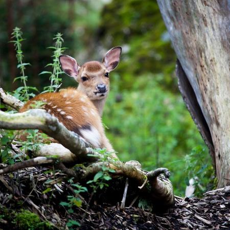 sika deer (lat. Cervus nippon) doe Stock Photo - 11303478
