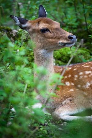 fallow deer: sika deer (lat. Cervus nippon) doe