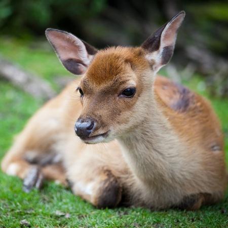 herd deer: sika deer (lat. Cervus nippon) doe