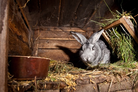 the hutch: Rabbit inside a wooden hutch (European Rabbit - Oryctolagus cuniculus)