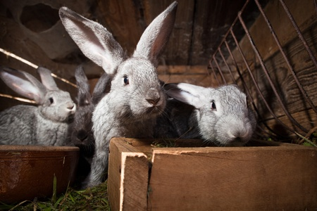 Rabbits eating grass inside a wooden hutch (European Rabbit - Oryctolagus cuniculus)