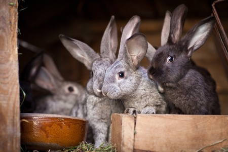 Young rabbits popping out of a hutch (European Rabbit - Oryctolagus cuniculus) photo