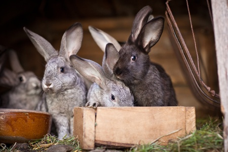 rabbit cage: Young rabbits popping out of a hutch (European Rabbit - Oryctolagus cuniculus)